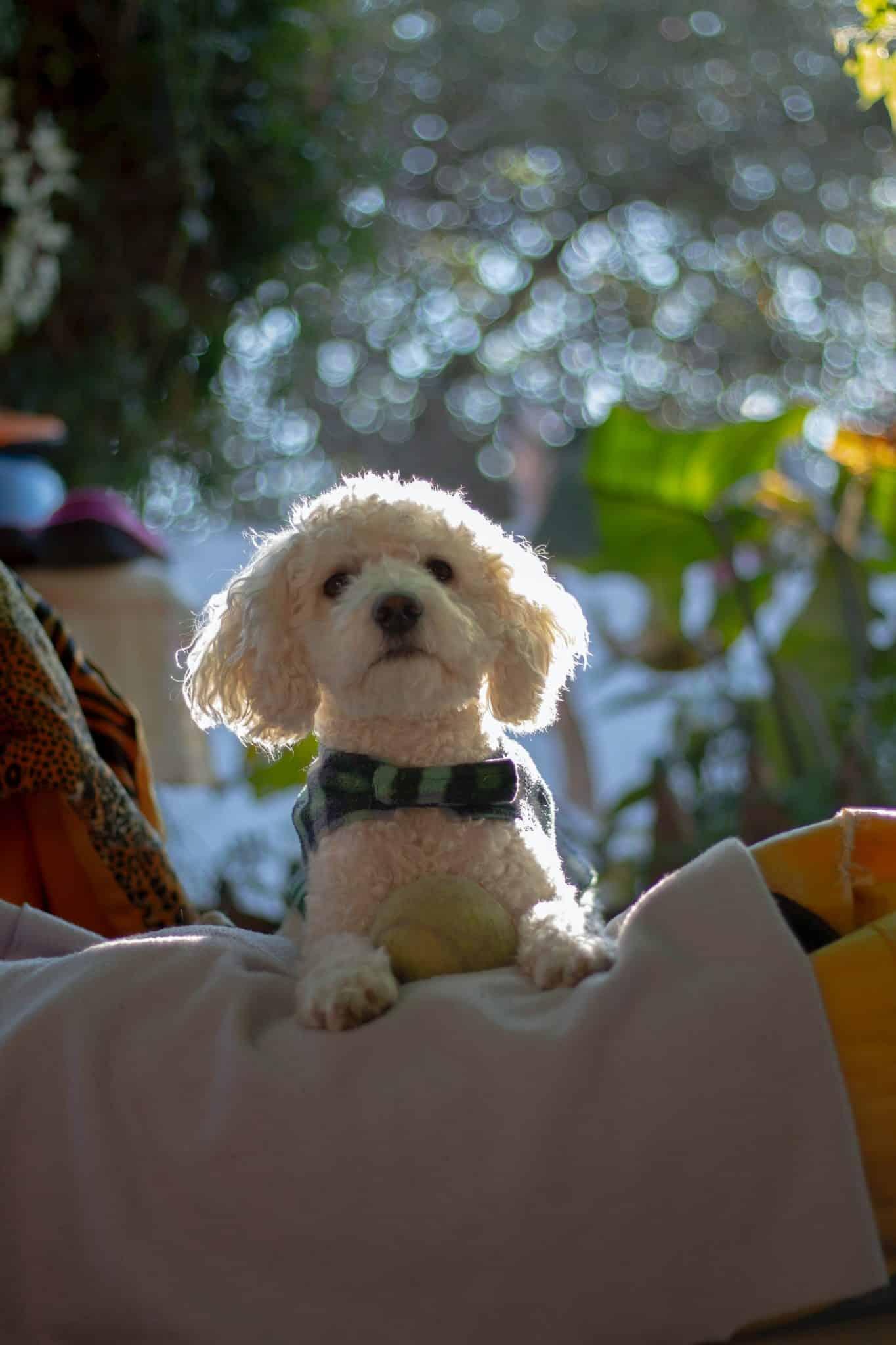 Cavachon hond