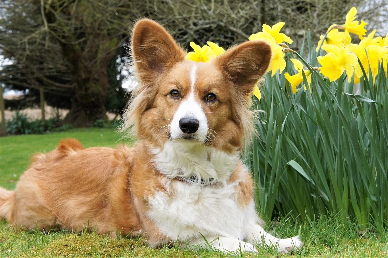 Cardigan Welsh Corgi hond