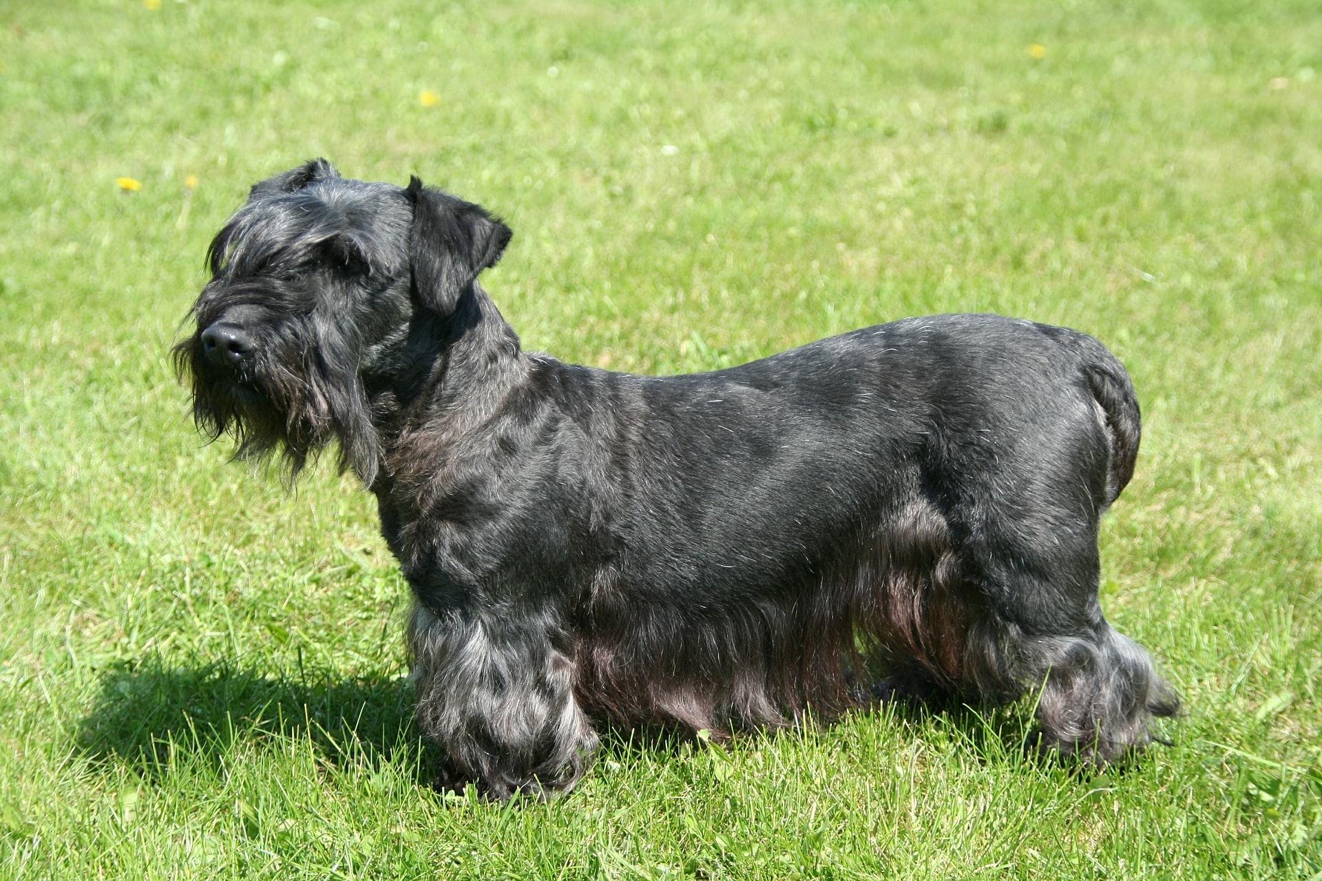 Cesky Terrier hond