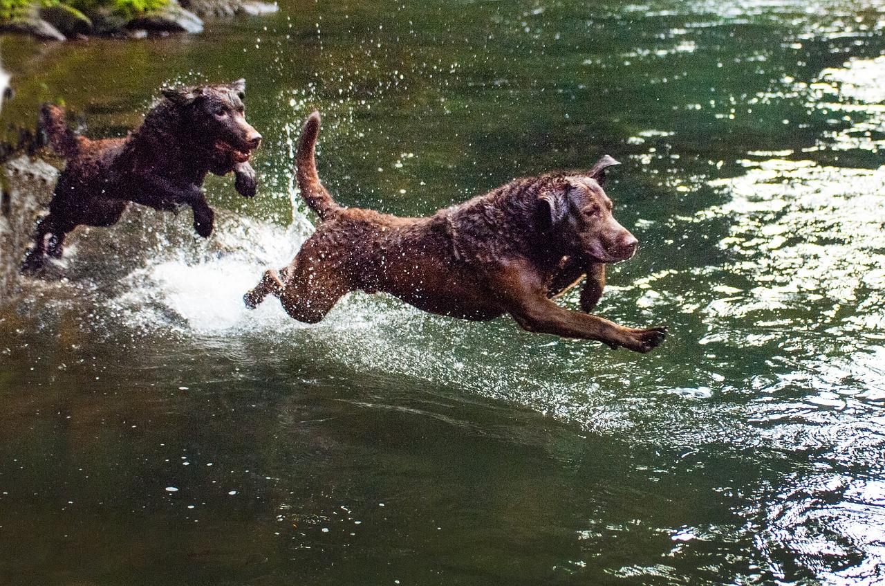 Chesapeake Bay Retriever hond