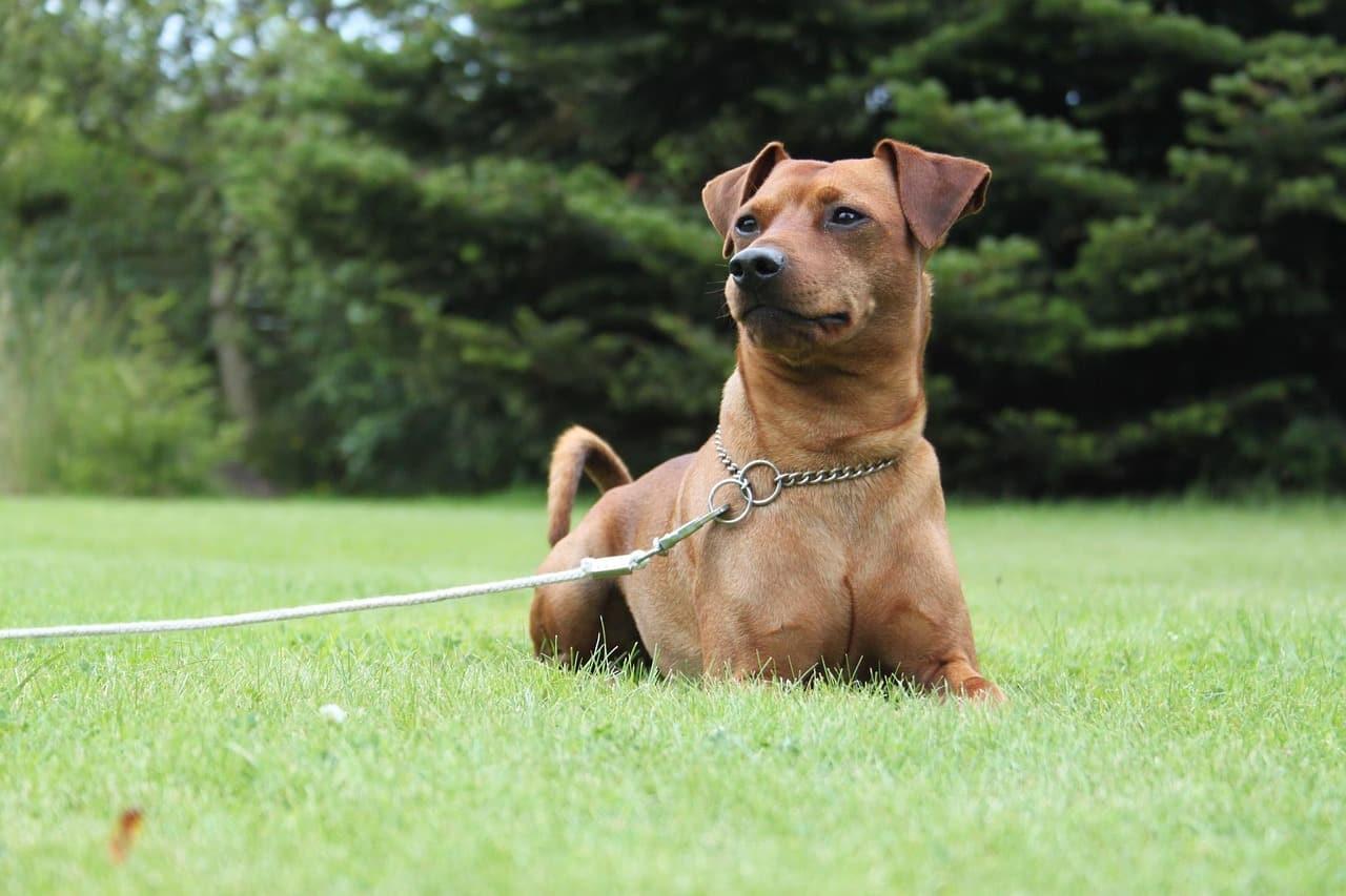 Dwergpinscher hondenras