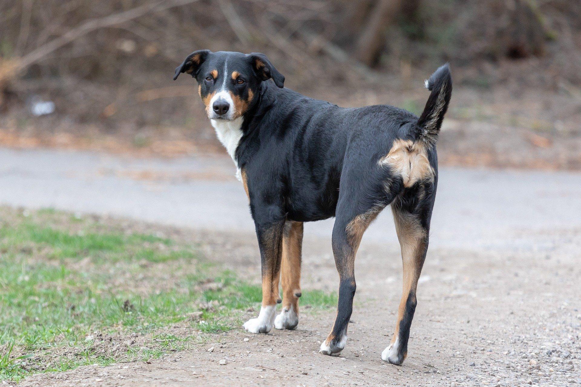 Entlebucher hondenras