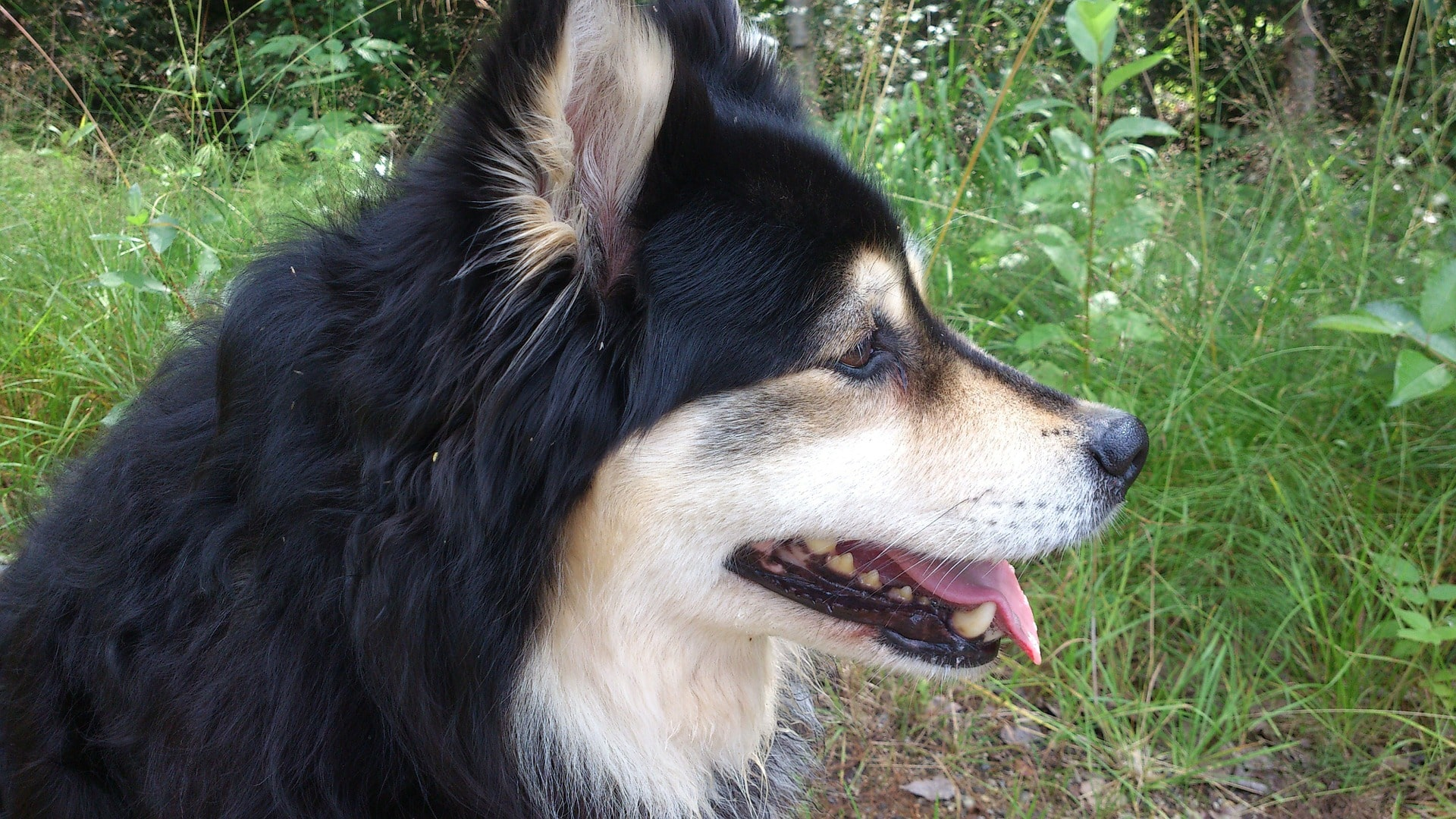 Finse Lappenhond