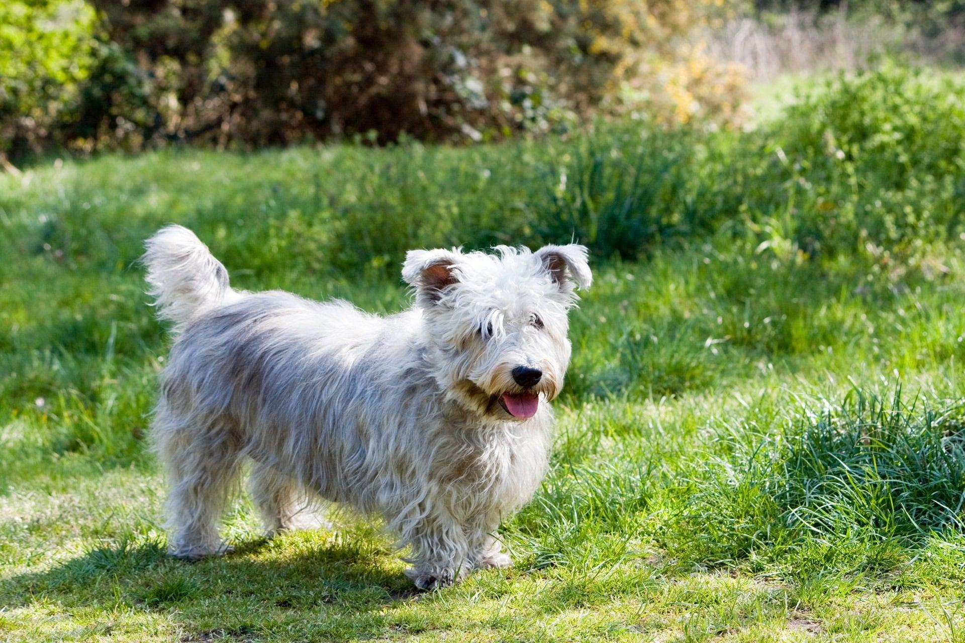 Glen of Imaal Terrier