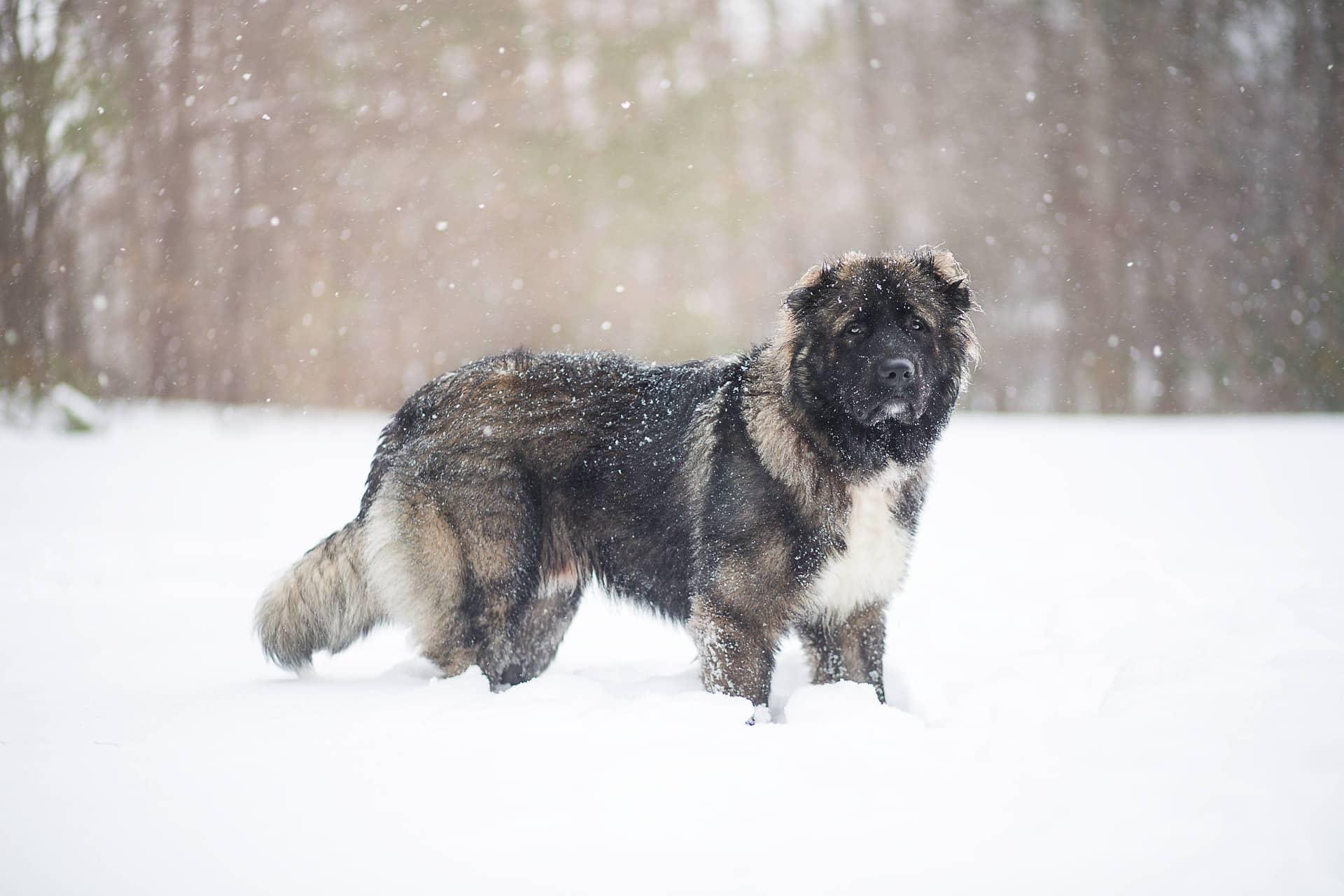 Kaukasische hond