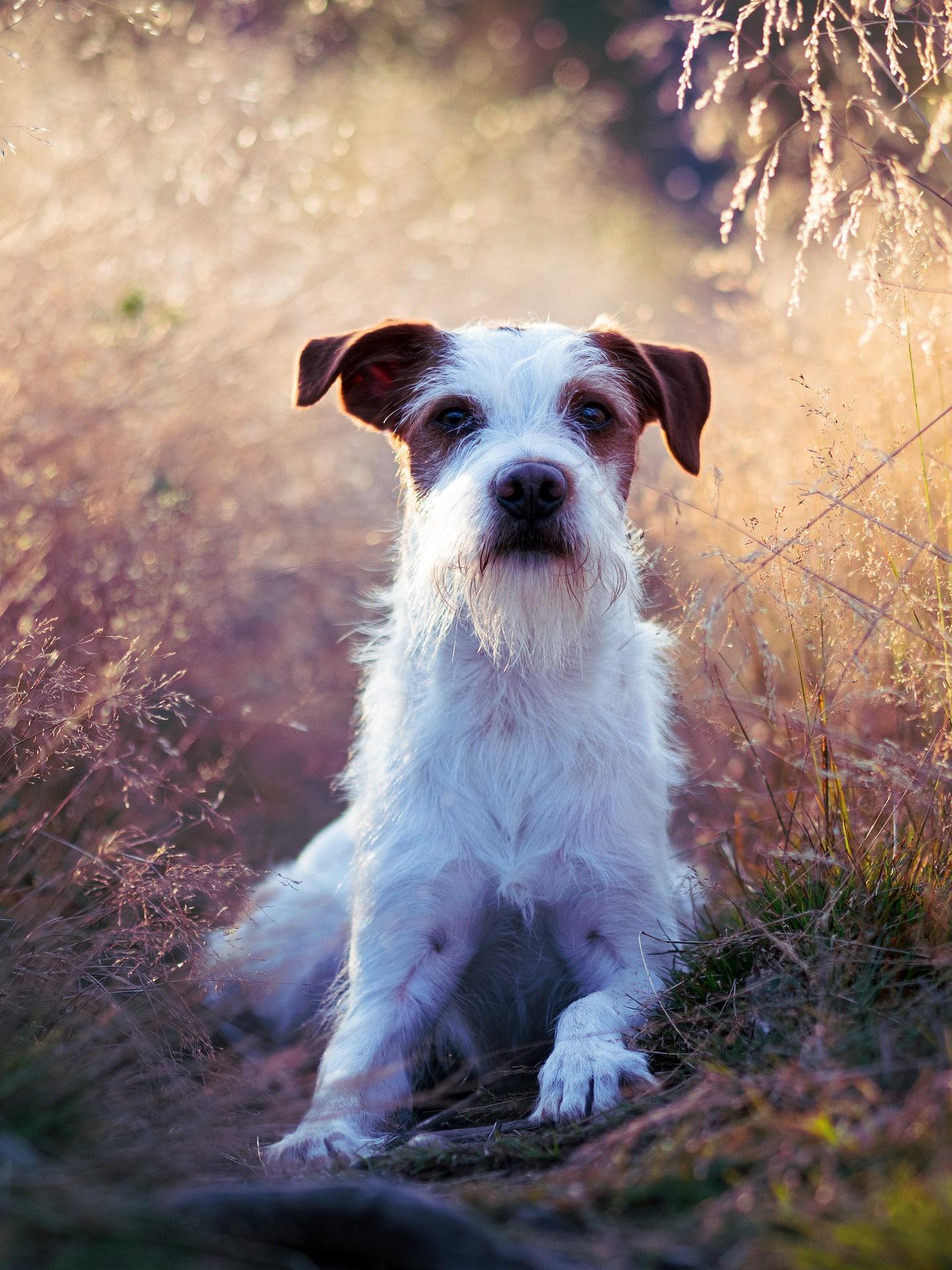 Kromfohrlander hondenras