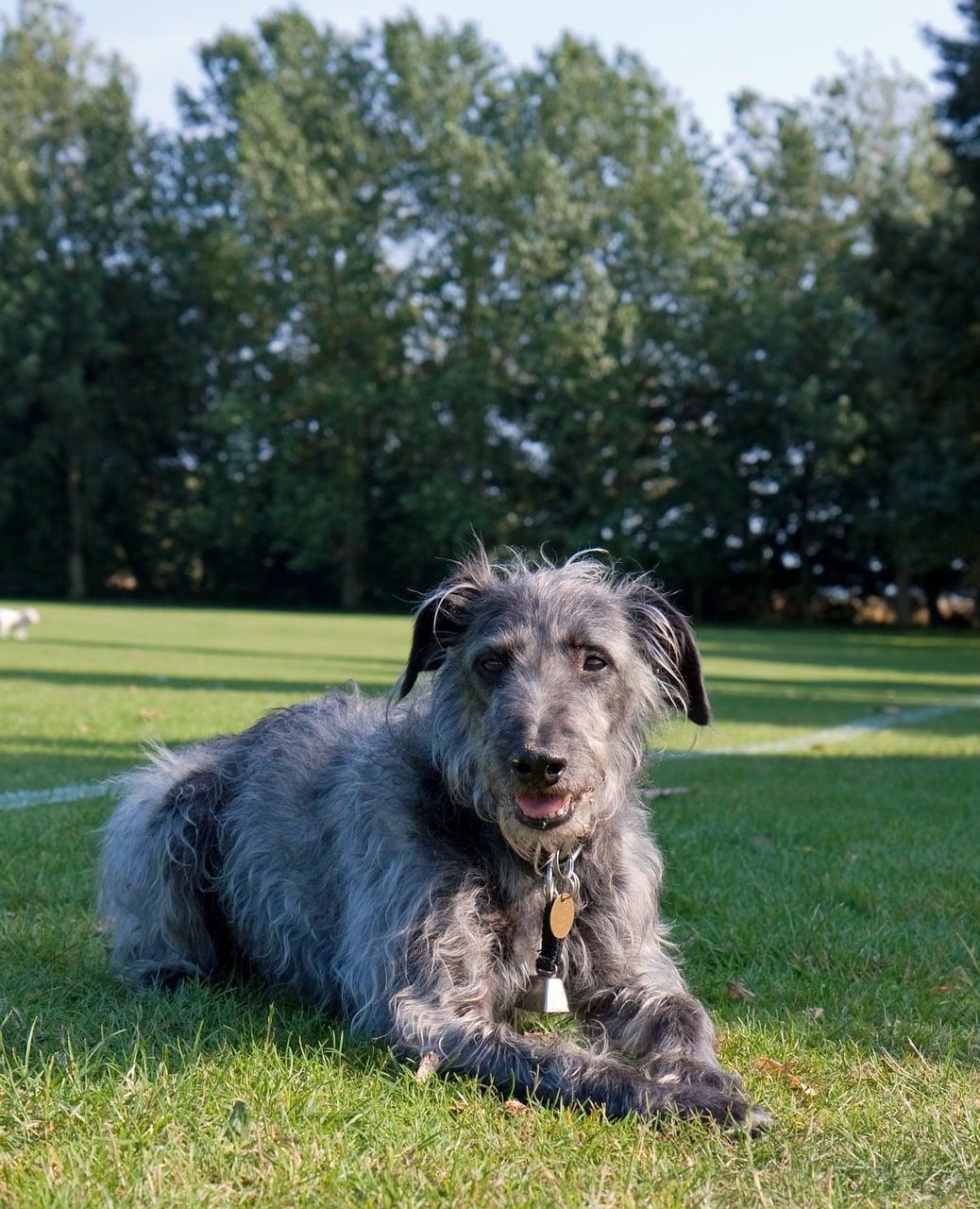 Lurcher hondenras