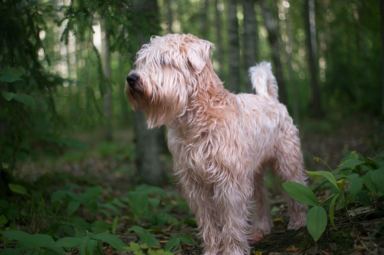 Soft Coated Wheaten Terrier hondenras