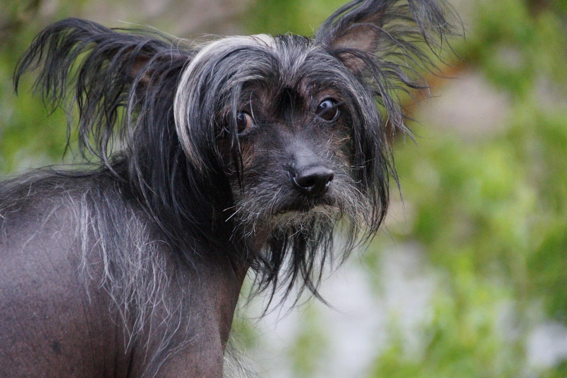 chinese naakt hond