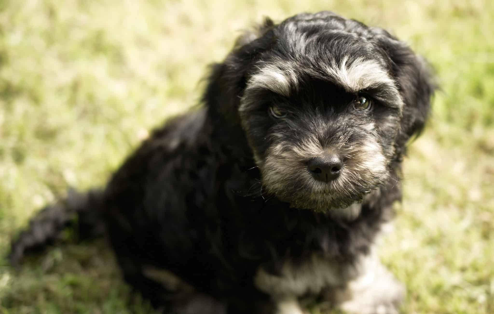 chorkie pup