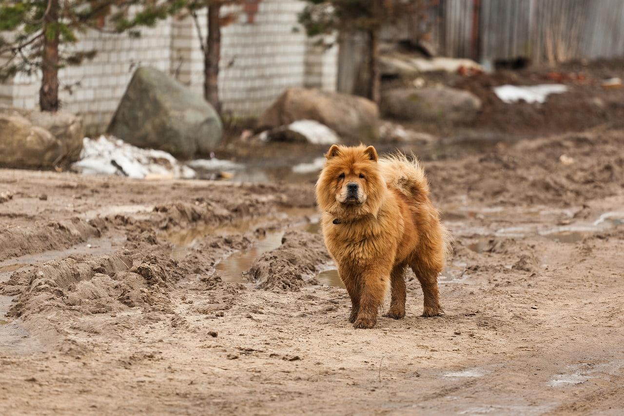 chow chow hondenras