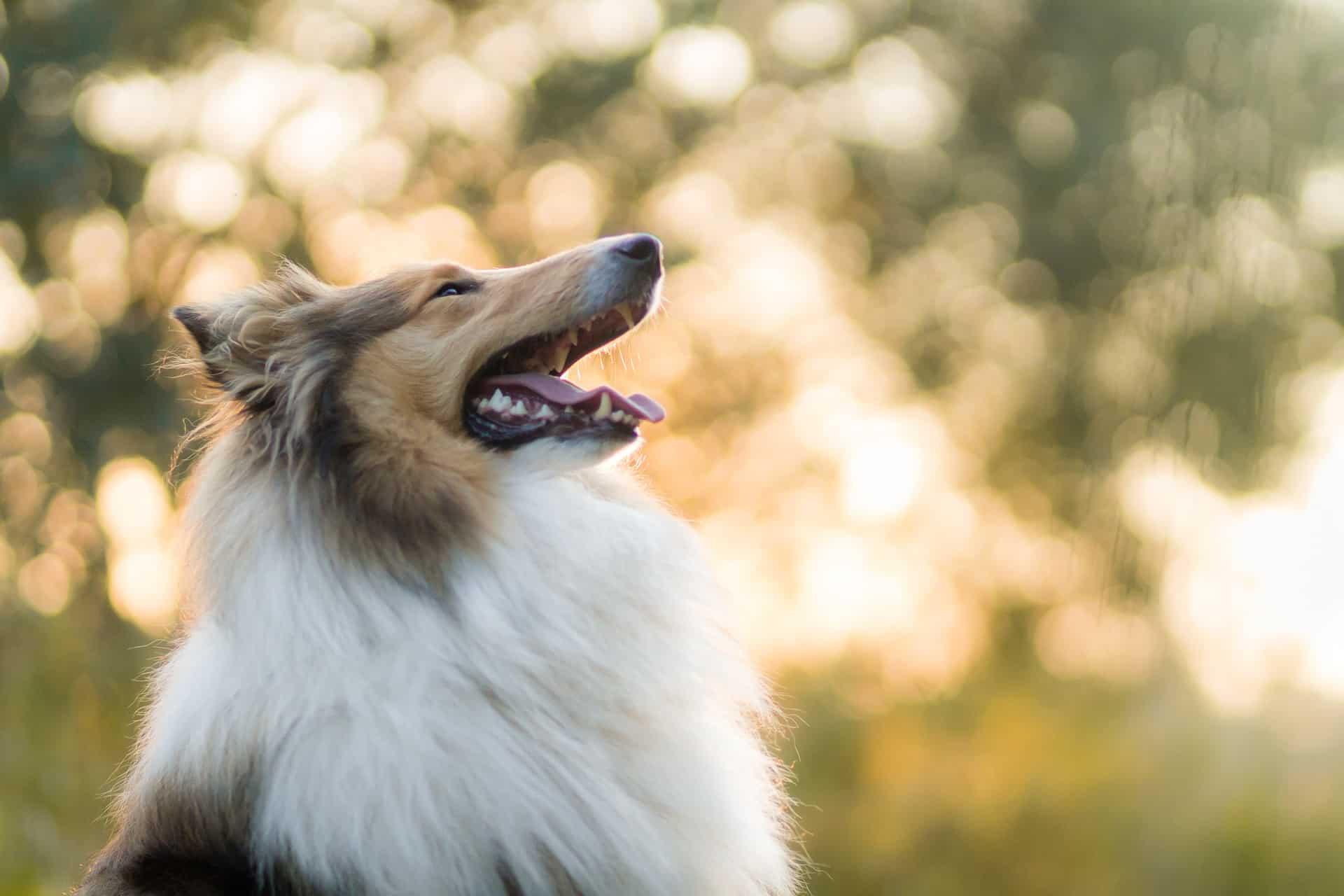 collie hondenras