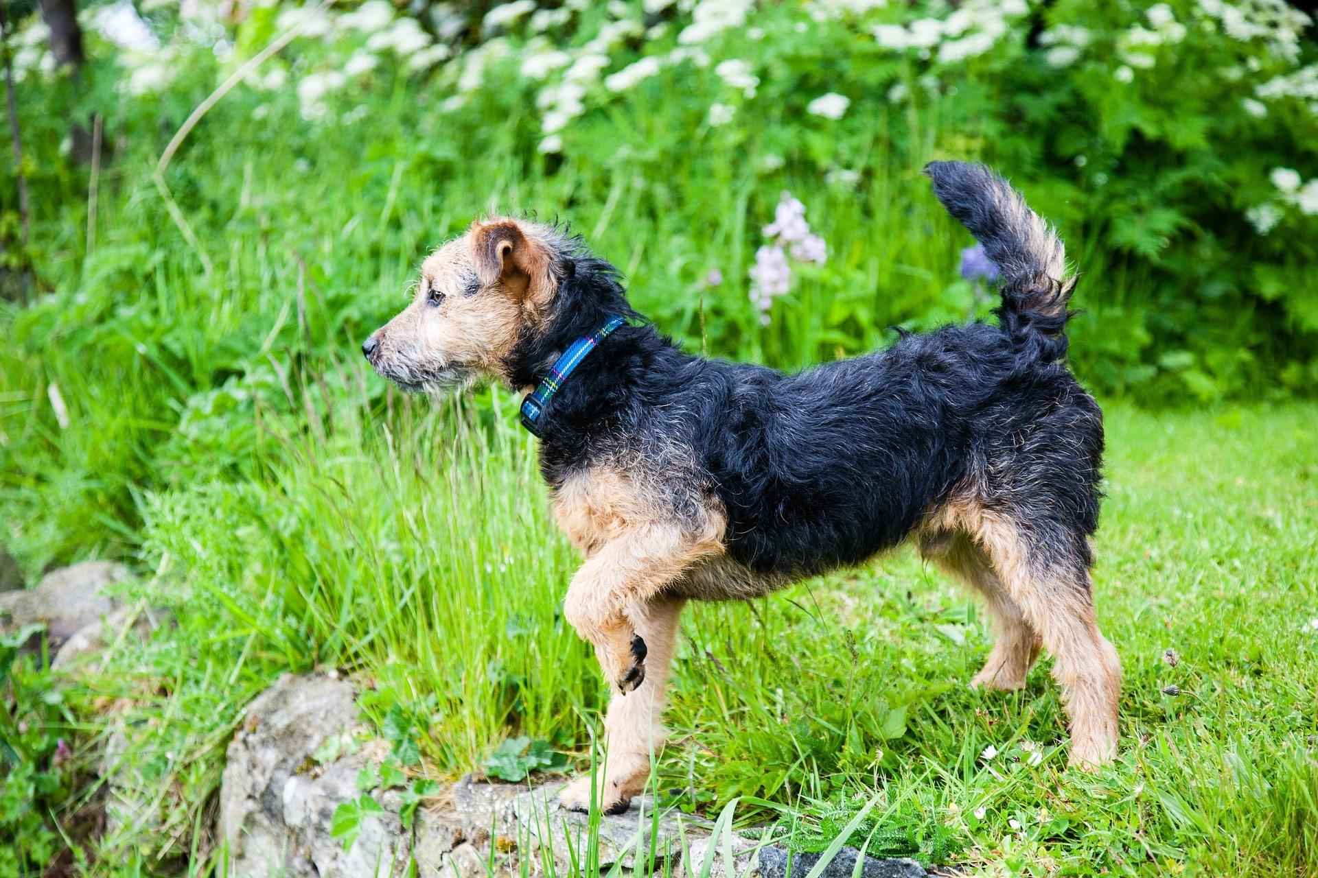 Lakeland Terrier hondenras