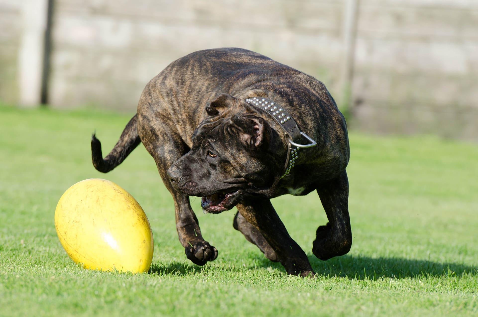 mastiff hond
