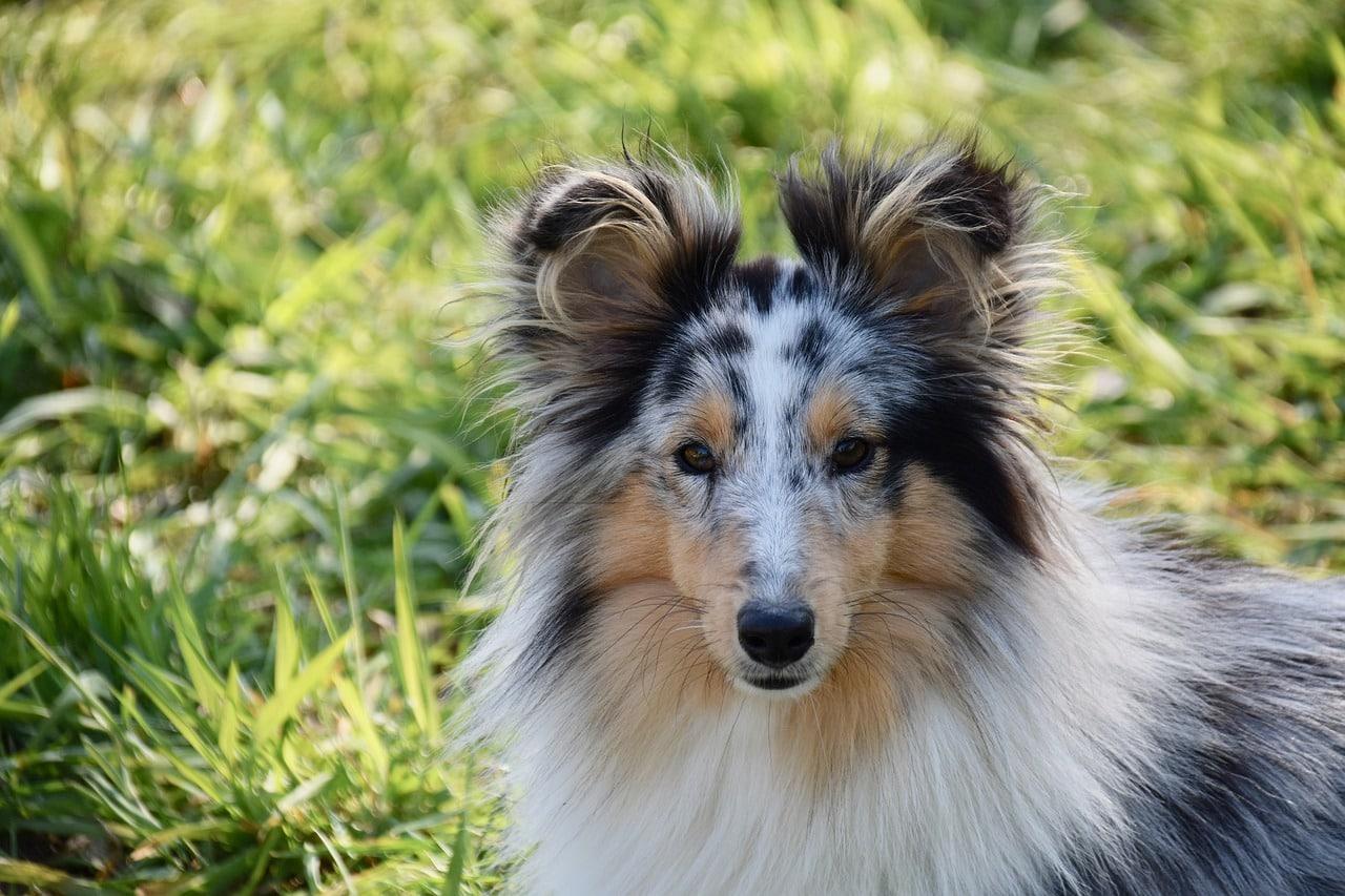 shetland sheepdog lassie